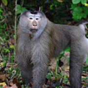 Pig-tailed Macaque Art Print