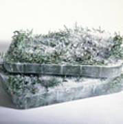 Pine Twigs And Ice Art Print