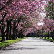 Pink Blooming Trees Art Print
