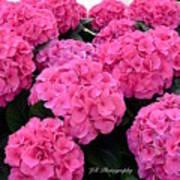 Pink Hydrangeas Art Print