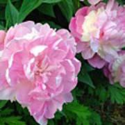Pink White Peonies  Art Print