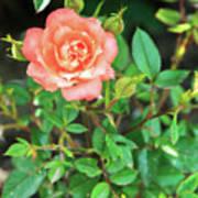 Pink Rose In The Garden Art Print