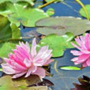 Pink Water Lily Series Art Print