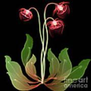 Pitcher Plant Flowers, X-ray Art Print