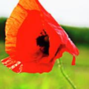 Poppy The Beauty Art Print