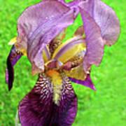 Raindrops On Purple And Yellow Iris Art Print