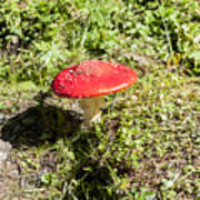 Red And White Potted Toadstool Art Print