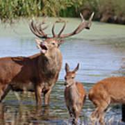 Red Deer In Bushy Park London Art Print
