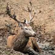 Red Deer Stag Cervus Elaphus Takes A Mudbath To Cool Down On Aut Art Print
