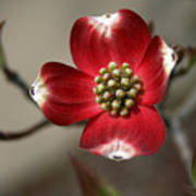 Red Dogwood Art Print