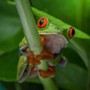 Red Eyed Tree Frog. Art Print