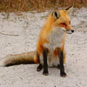 Red Fox 3 Art Print