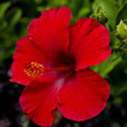 Red Hibiscus - Kauai Art Print