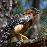 Red Shouldered Hawk Art Print