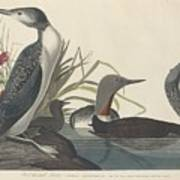 Red-throated Diver Art Print