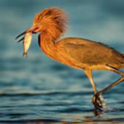 Reddish Egret With Fish Art Print