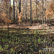 Regrowth After A Controlled Burn Art Print