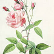 Rosa Indica Vulgaris Art Print