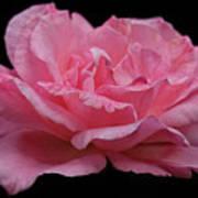 Rose - Flower Art Print