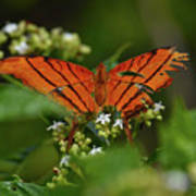 Ruddy Daggerwing Butterfly Art Print
