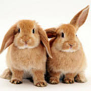 Sandy Lop Rabbits Art Print