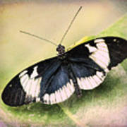 Sapho Longwing Butterfly Art Print