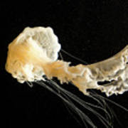 Sea Nettle Jellyfish Art Print