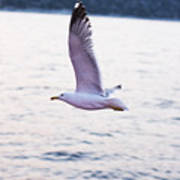 Seagulls Flying Art Print