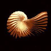 Seashell 1 Art Print