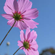 Sensation Cosmos Bipinnatus Pink Cosmos Standing Up Towerd Sky Art Print