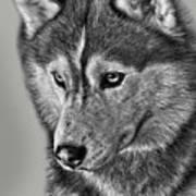 Siberian Husky 2 Art Print by Larry Linton