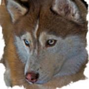 Siberian Husky Art Print by Larry Linton