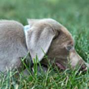 Silver Labrador Retriever Puppy  Art Print