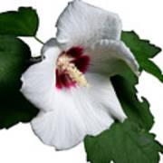 Single Rose Sharron Flower Art Print