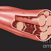 Single Muscle Fiber Structure Art Print