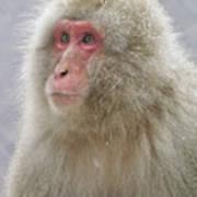 Snow-dusted Monkey Art Print