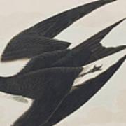 Sooty Tern Art Print