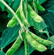 Soybeans Art Print