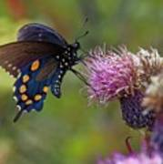 Spicebush Swallowtail On Bull Thistle Art Print