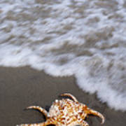 Spider Conch Shell Art Print