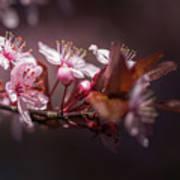 Spring Beauty- 2 Art Print
