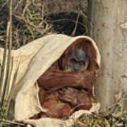Sumatran Orangutang - Art Print