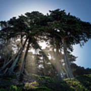Sunbeams From Large Pine Or Fir Trees On Coast Of San Francisco  Art Print