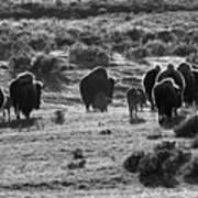 Sunset Bison Stroll Black And White Art Print