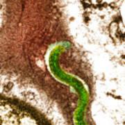 Syphilis Bacterium (treponema Pallidum) Art Print by Biomedical Imaging Unit, Southampton General Hospital