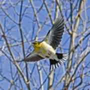 The American Goldfinch In-flight, Art Print