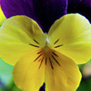 The Face Of A Pansy Art Print