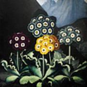 Thornton: Auriculas Art Print