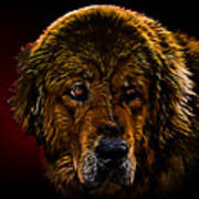 Tibetan Mastiff Art Print