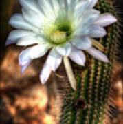 Torch Cactus - Echinopsis Candicans Art Print